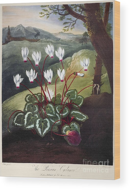 1804 Wood Print featuring the photograph Thornton: Cyclamen by Granger