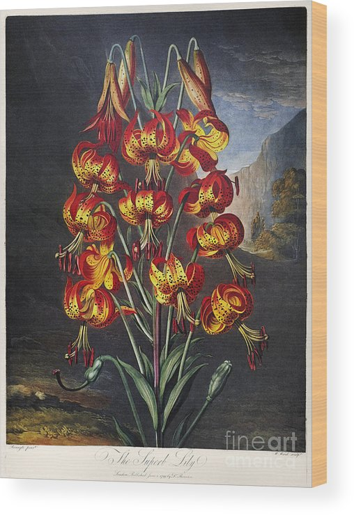 1799 Wood Print featuring the photograph Thornton: Superb Lily by Granger