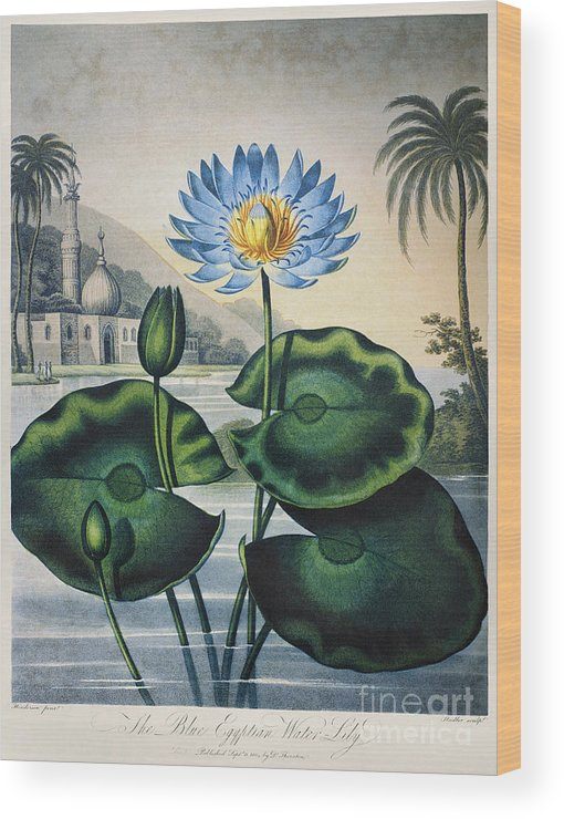 1804 Wood Print featuring the photograph Thornton: Water Lily by Granger