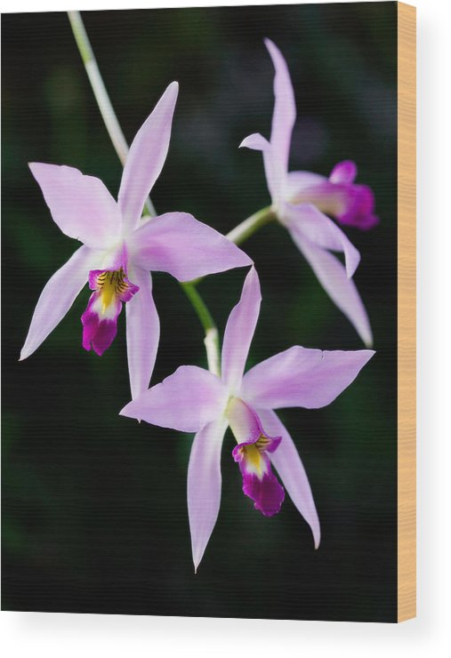 Orchid Wood Print featuring the photograph Three Orchids by Marilyn Hunt