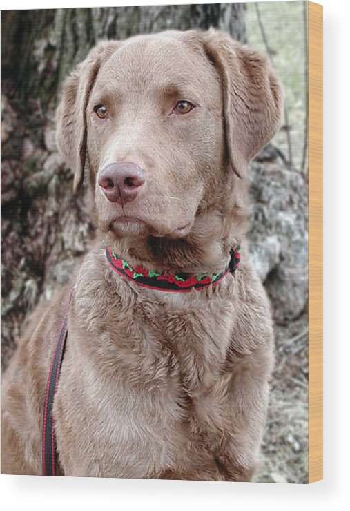 Chesapeake Bay Retriever Wood Print featuring the photograph Trevor by Laurie With