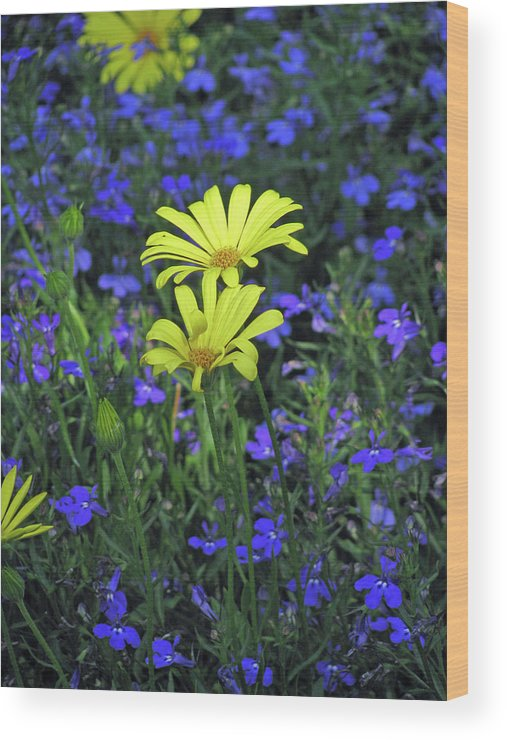 African Daisy Wood Print featuring the photograph Voltage Yellow And Electric Blue 06 by Pamela Critchlow