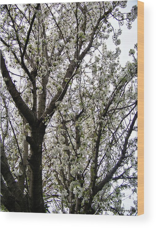 Blossoms Wood Print featuring the photograph White As Snow by Amy Delaine
