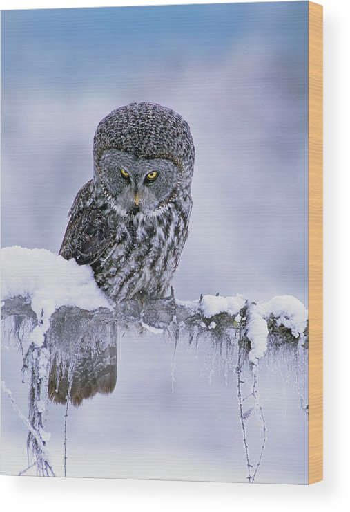 00586269 Wood Print featuring the photograph Great Gray Owl In Winter, North America by Tim Fitzharris