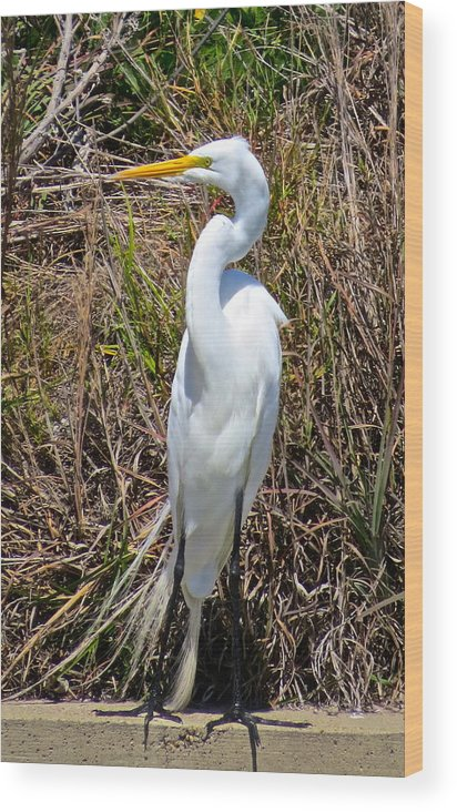 Brown Pelican Wood Print featuring the photograph Great Egret by Michael Anthony