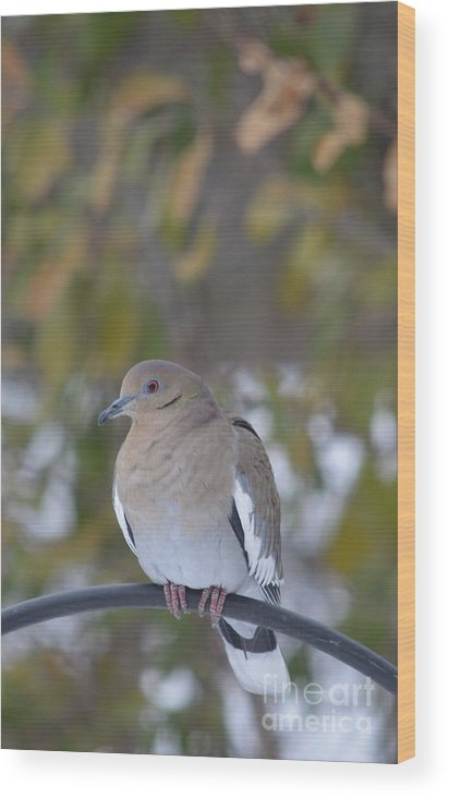 White Wing Dove Prints Wood Print featuring the photograph Female White Wing Dove by Ruth Housley