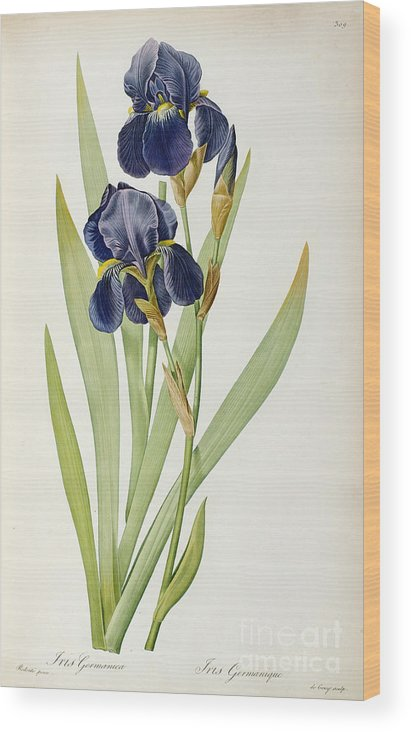 Iris Wood Print featuring the painting Iris Germanica by Pierre Joseph Redoute