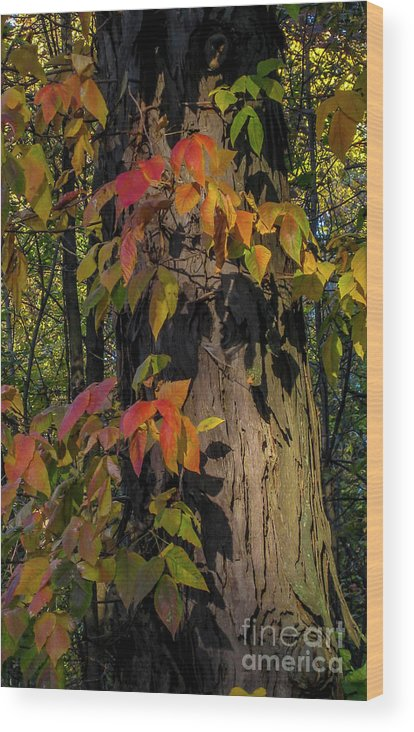 Ginger Woods Wood Print featuring the photograph Vine And Hickory by David Foote
