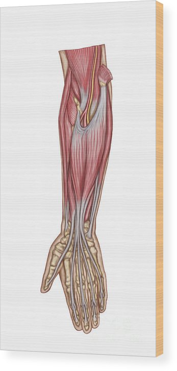 Vertical Wood Print featuring the digital art Anatomy Of Forearm Muscles, Anterior by Stocktrek Images