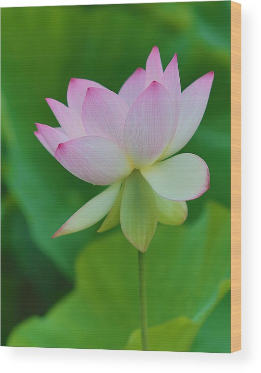 Pink Wood Print featuring the photograph Pink Lotus Flower by Jack Nevitt