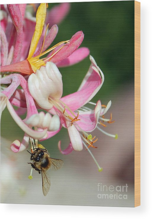 Honeysuckle Wood Print featuring the photograph Bee On Pink Honeysuckle by Renee Croushore