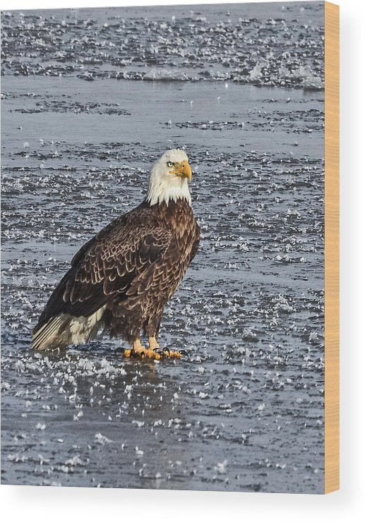 Bald Eagle Wood Print featuring the photograph Ice Eagle by Bruce J Barker