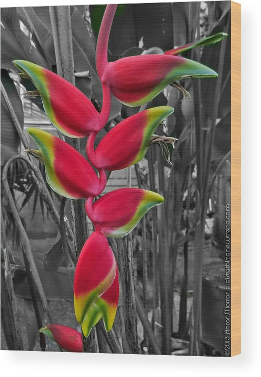Heliconia Wood Print featuring the photograph Last Fruit Of Eden by Antar Morrar