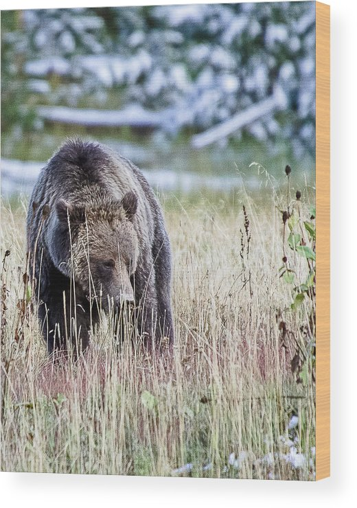 Grizzly Wood Print featuring the photograph Looking For Roots by Bruce J Barker