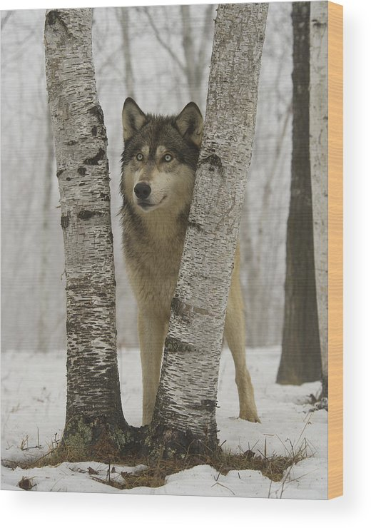Wolf Wood Print featuring the photograph Timber Wolf Canis Lupus by Carol Gregory