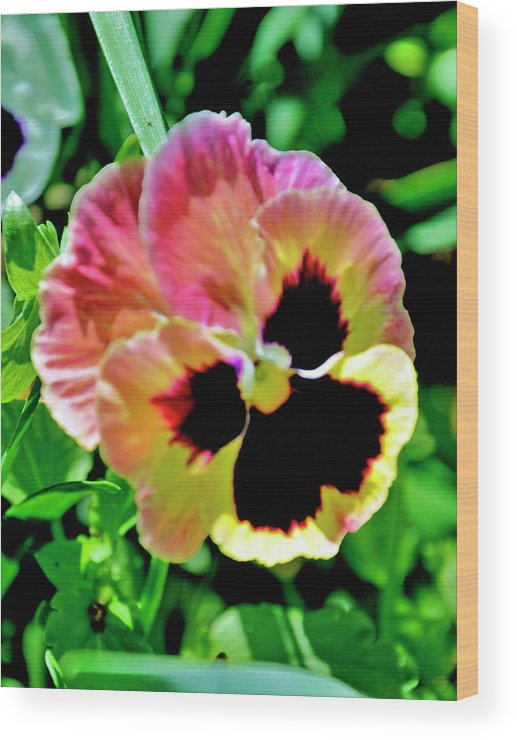 Flowers Wood Print featuring the photograph Pink And Yellow Pansy by Helen Haw
