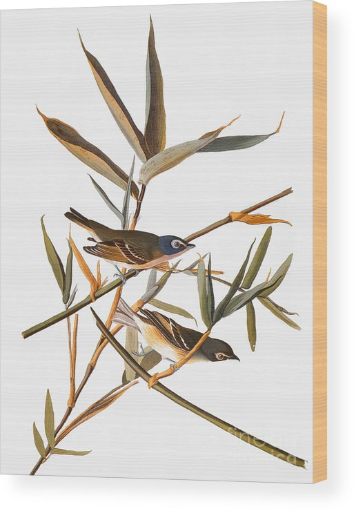 1838 Wood Print featuring the photograph Audubon: Vireo by Granger