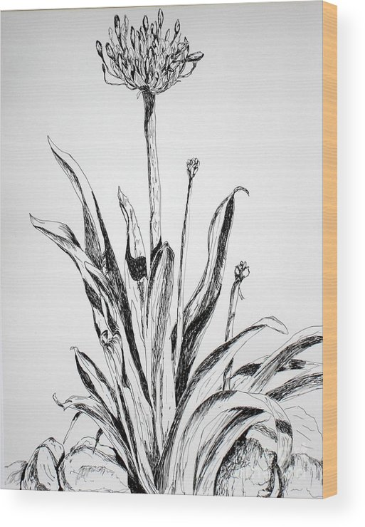 Drawing Wood Print featuring the drawing Lily Of The Nile by Vicki Housel