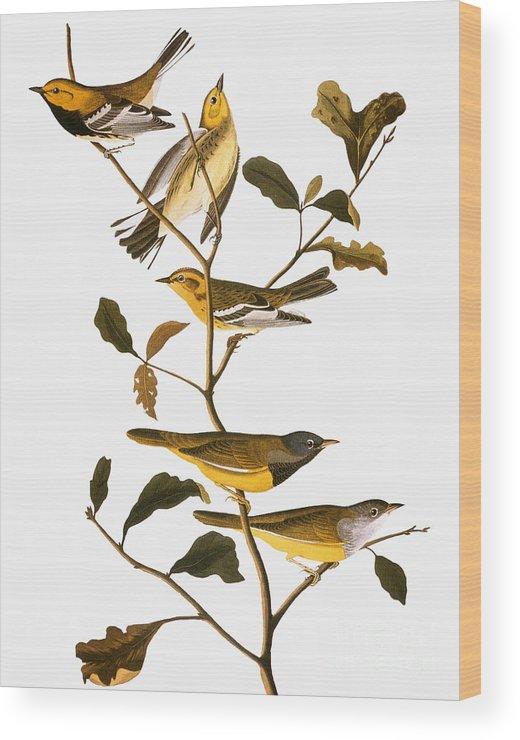 1838 Wood Print featuring the photograph Audubon: Warbler by Granger