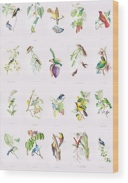 Birds Wood Print featuring the painting Birds Of Brazil by Philip Ralley