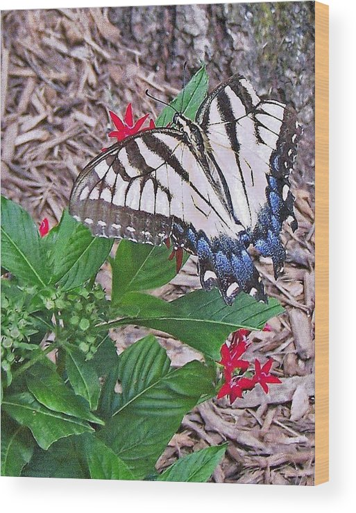 Blue And White And Black Butterfly Wood Print featuring the photograph Blue Ridge Butterfly by Patricia Taylor