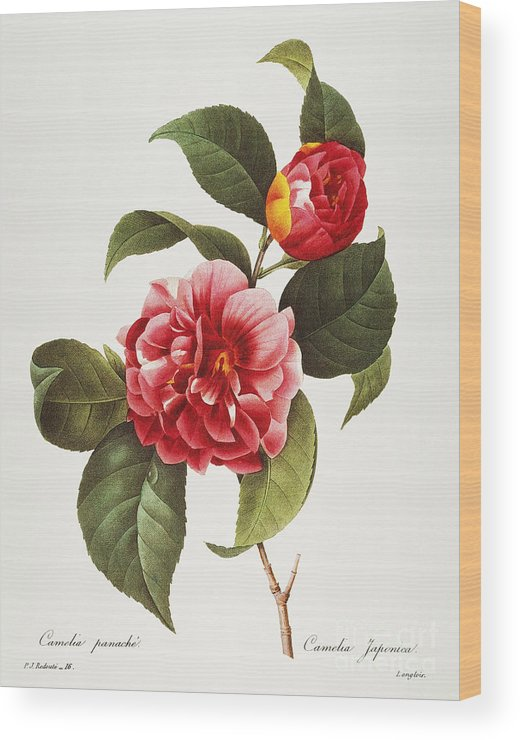 1833 Wood Print featuring the photograph Camellia, 1833 by Granger