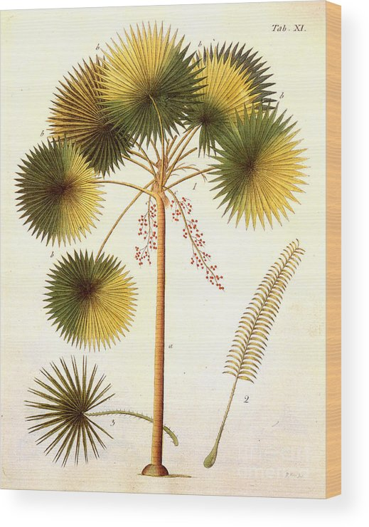 1799 Wood Print featuring the photograph Fan Palm by Granger