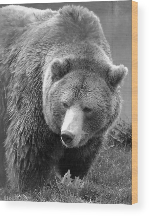 Grizzly Bear Wood Print featuring the photograph Grizzly Bear And Black And White by Tiffany Vest