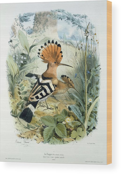 Hoopoe (upupa Epops) (colour Litho) By Edouard Travies (1809-c.1865) Wood Print featuring the painting Hoopoe by Edouard Travies