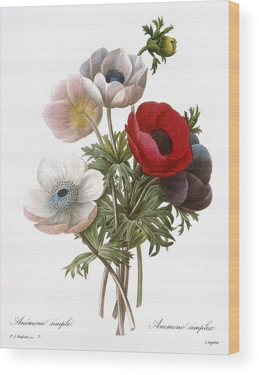 1833 Wood Print featuring the photograph Redoute: Anemone, 1833 by Granger