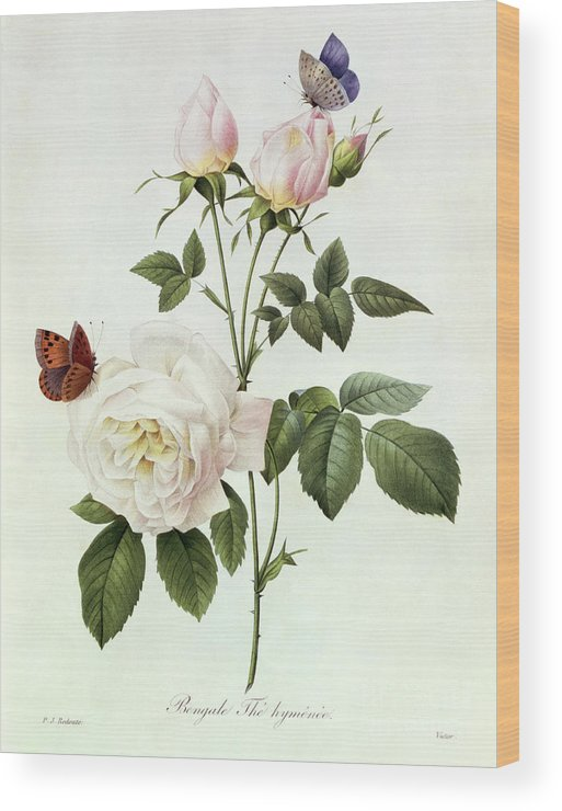 Rosa Wood Print featuring the painting Rosa Bengale The Hymenes by Pierre Joseph Redoute