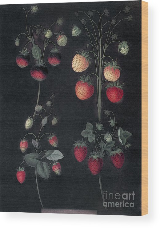 1812 Wood Print featuring the photograph Strawberries by Granger