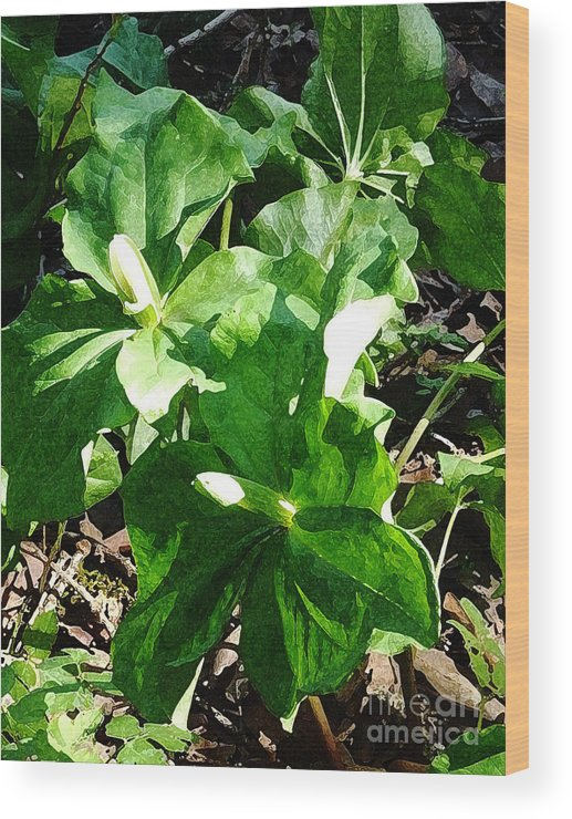 Nature Wood Print featuring the photograph Sun Dabbled Trilliums by JoAnn SkyWatcher