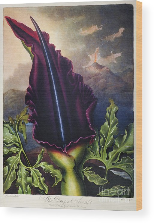 1801 Wood Print featuring the photograph Thornton: Dragon Arum by Granger