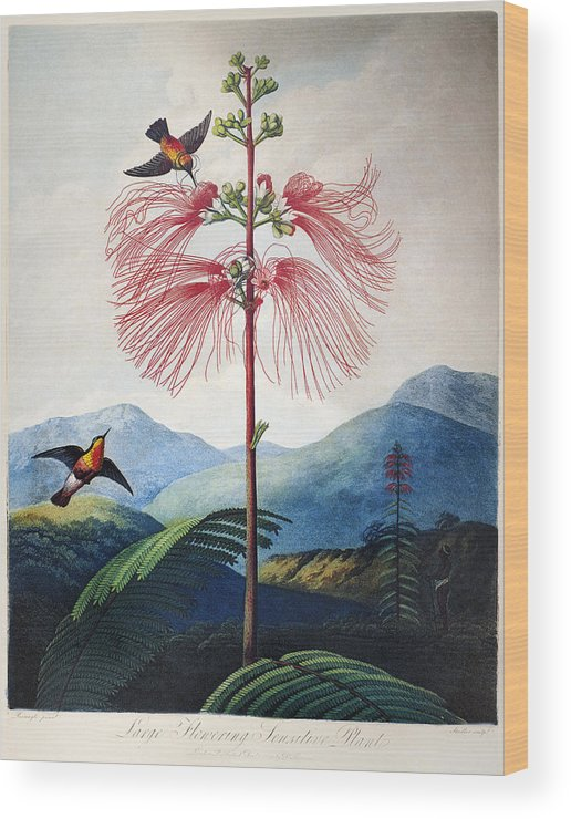 1799 Wood Print featuring the photograph Thornton: Sensitive Plant by Granger