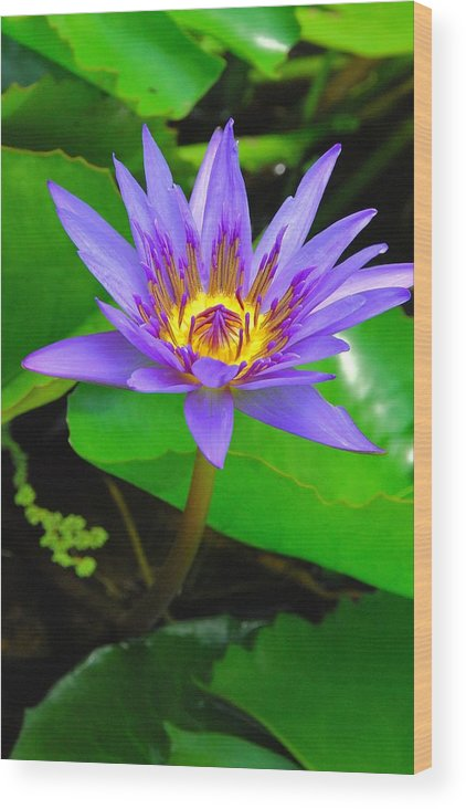 Water Lillies Wood Print featuring the photograph Water Lily 20 by Allen Beatty