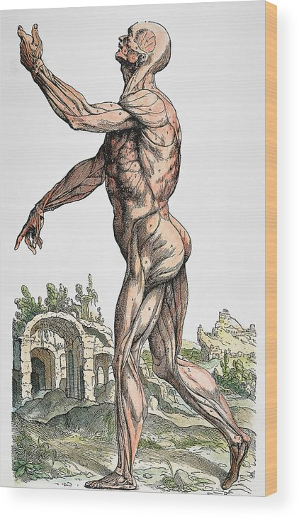 1543 Wood Print featuring the photograph Vesalius: Muscles 02, 1543 by Granger