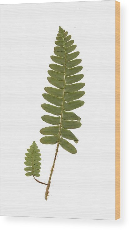 Fern Wood Print featuring the photograph Christmas Fern by Mary Ann Southern