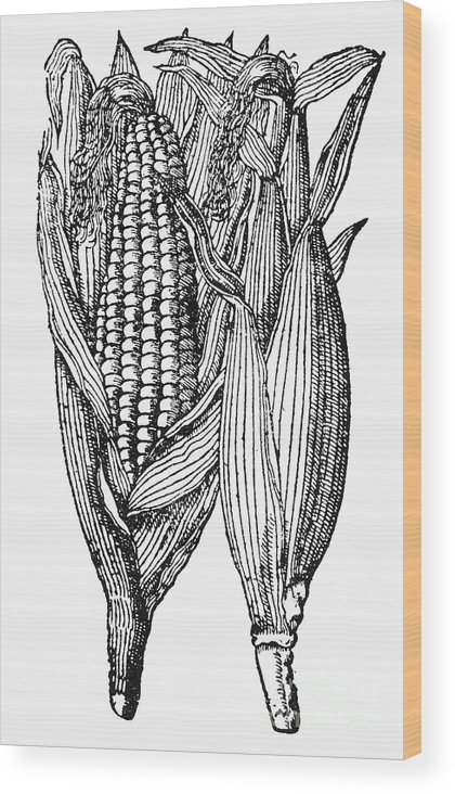 19th Century Wood Print featuring the photograph Ears Of Maize by Granger
