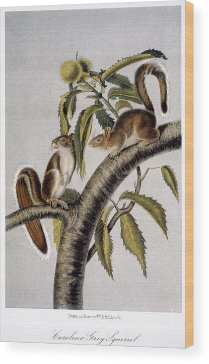 1846 Wood Print featuring the photograph Carolina Grey Squirrel by Granger