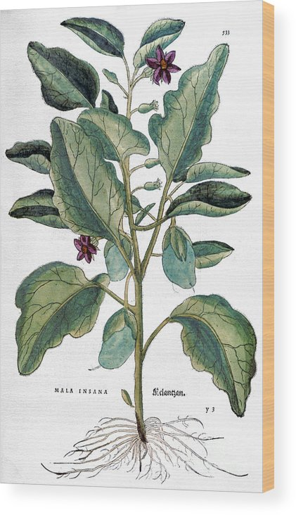 1730s Wood Print featuring the photograph Eggplant, 1735 by Granger