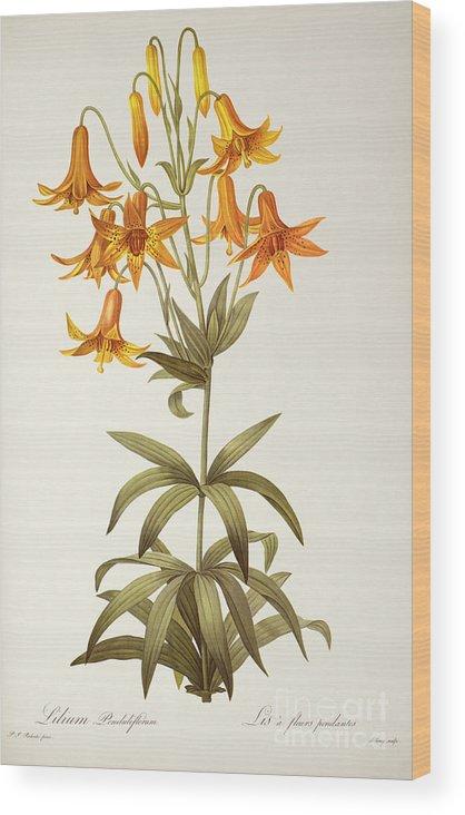 Lilium Penduliflorum Wood Print featuring the painting Lilium Penduliflorum by Pierre Joseph Redoute
