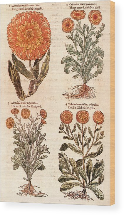 1597 Wood Print featuring the photograph Marigolds by Granger
