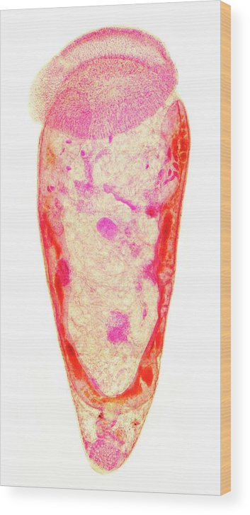 Amphistome Fluke Wood Print featuring the photograph Amphistome Fluke by Sinclair Stammers/science Photo Library