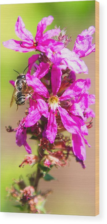 Purple Wild Flower Wood Print featuring the photograph Purple Wild Flower by Optical Playground By MP Ray