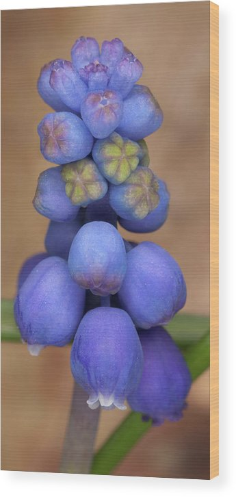 Grape Hyacinth Wood Print featuring the photograph Grape Hyacinth by Bernard Lynch