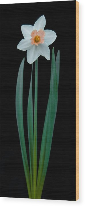 Black Wood Print featuring the photograph Narcissus Passionale by Michael Peychich
