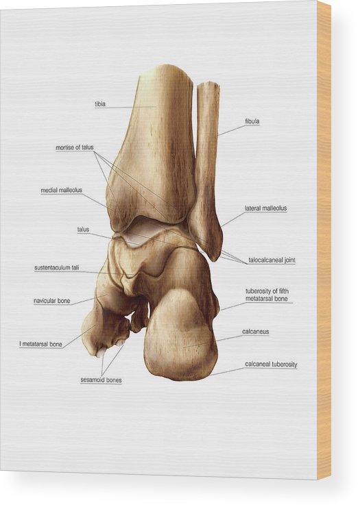 Talus Bone Wood Print By Asklepios Medical Atlas