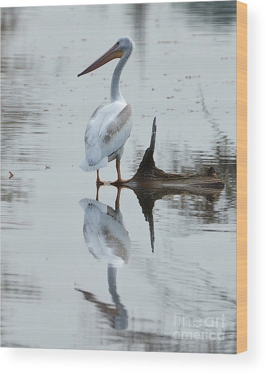 Wood Print featuring the photograph White Pelican by Kevin Pugh