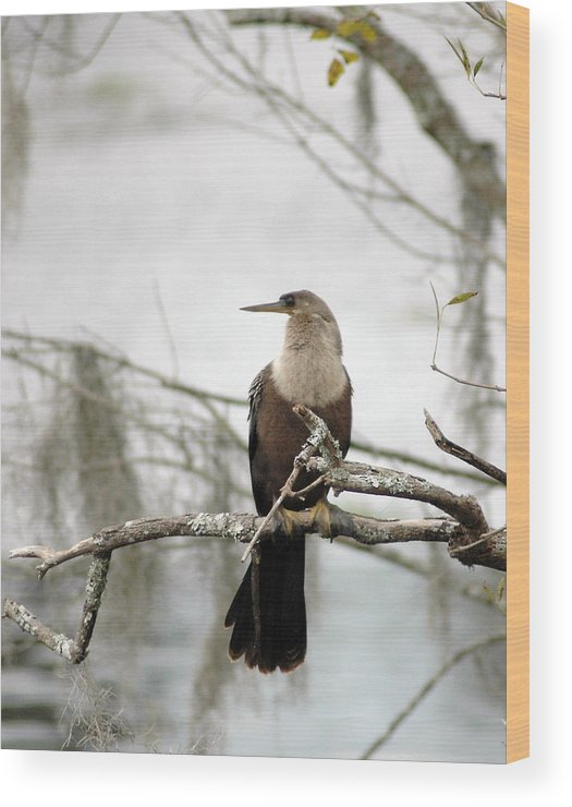 Anhinga Wood Print featuring the photograph Anhinga On A Misty Morning by Norman Johnson